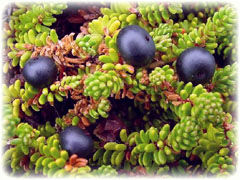 Crowberry The Dark Tickle Company