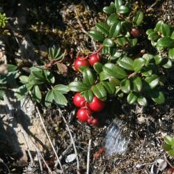Partridgeberries