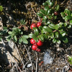 Partridgeberries